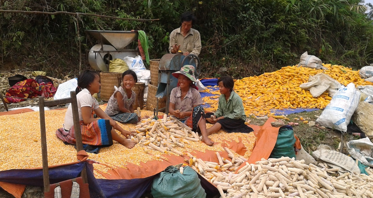Vietnam Maize Harvest 2