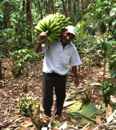A farmer of a small-scale banana-coffee mixed-crop farm carries bananas back to his house in the Nicanorte Action Site, Jinotega, Nicaragua.