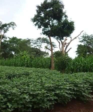 Soybean field from Humidtropics demonstration plots, where, Uganda. Photo by ??
