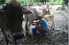 High Demand for Livestock Intensification in Nicaragua