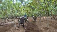 Bridging the Hunger Gap with Improved Leafy Vegetables in Cameroon's Smallholder Cocoa Farms