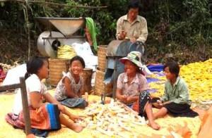 Vietnam Maize Harvest