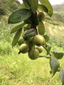 Son tra tree with fruit on farm boundary. Photo by Lua Hoang Thi/ICRAF.