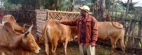 Farmer Abera with his fattening oxen and improved livestock feed trough.