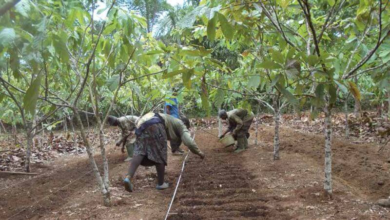 Joseph Ondoua, a cocoa farmer who benefited from AVRDC technologies and training, works with his family on preparing the land for transplanting vegetables from his nursery to the cocoa field.
