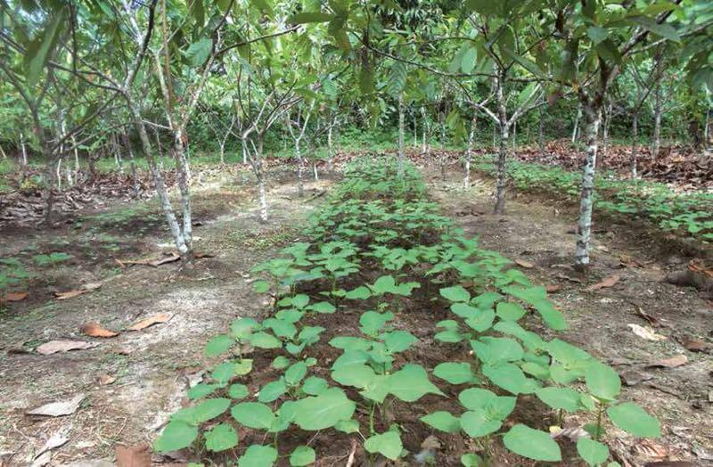 On-farm trial to demonstrate intercropping vegetables with cocoa trees.