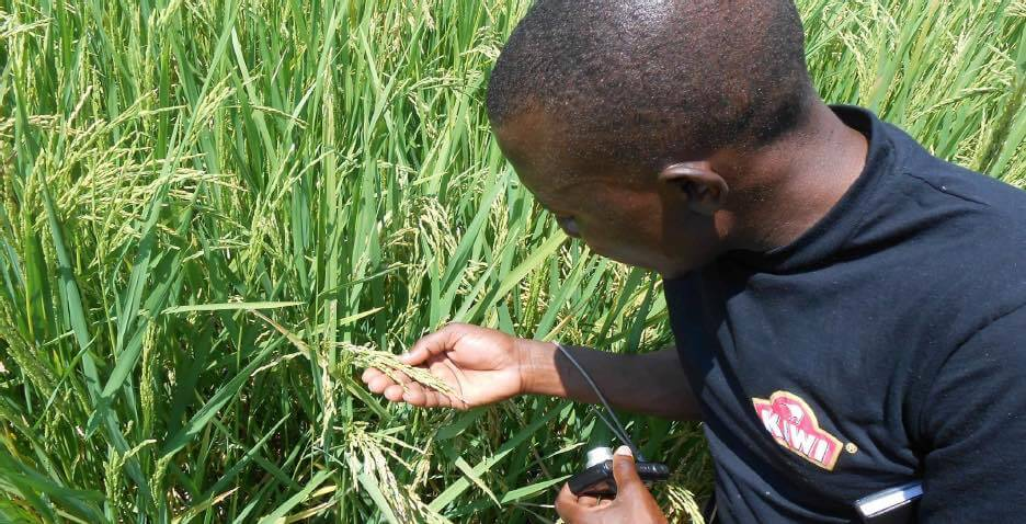 A PASIC agronomist observes pests in a rice field.